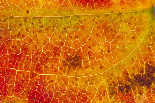 Photograph - Greenbrier Leaf In Fall by Steven Schwartzman