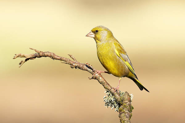 Photograph - Greenfinch by Grant Glendinning