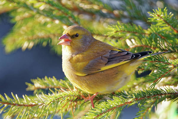 Passeriformes Photograph - Greenfinch by Heiti Paves