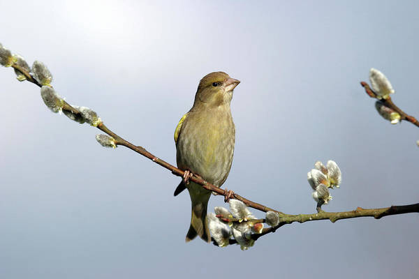 Ornithological Photograph - Greenfinch by John Devries/science Photo Library