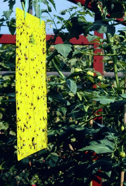 Wall Art - Photograph - Greenhouse Insect Control by Anthony Cooper/science Photo Library