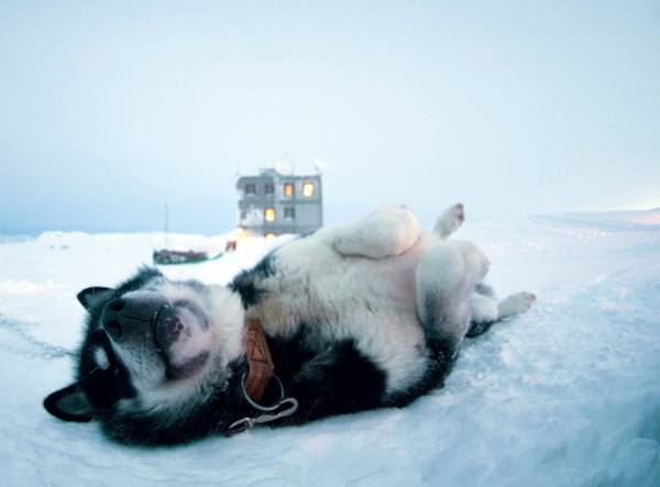 Special Forces Wall Art - Photograph - Greenland Dog by Louise Murray/science Photo Library