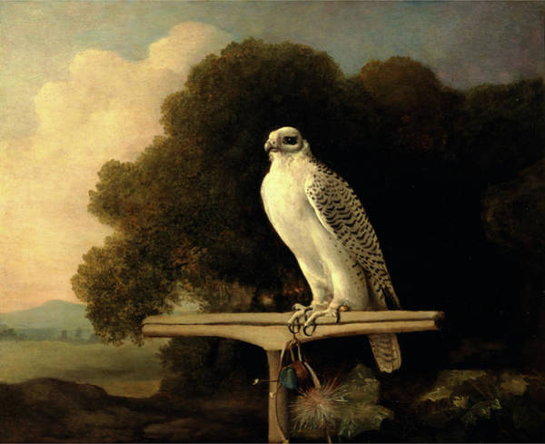 Greenland Falcon Gyr Falcon Signed And Dated Art Print