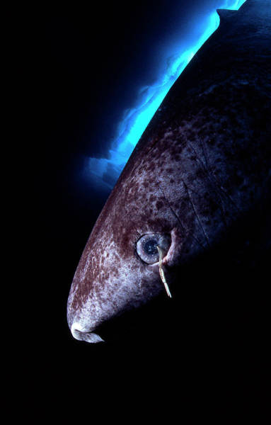 Wall Art - Photograph - Greenland Shark With Copepod Parasite by Louise Murray/science Photo Library