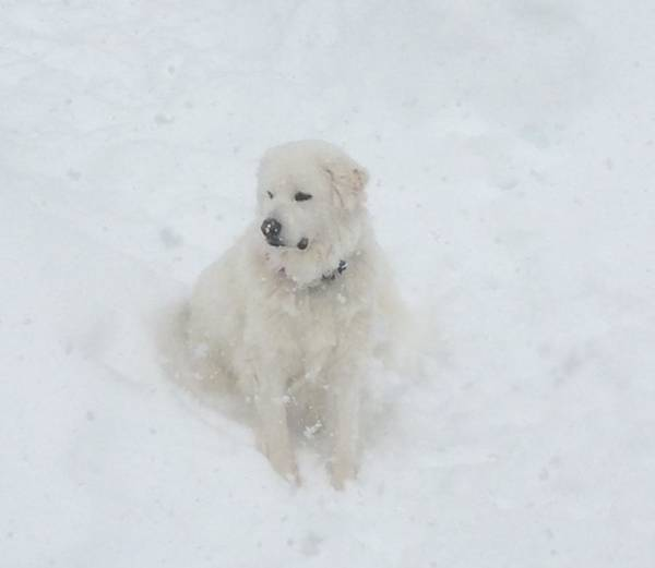Great Pyrenees Photograph - Greer In The Snow by Susan Feeley