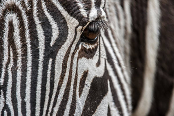 Photograph - Grevy's Zebra 6 by Arterra Picture Library
