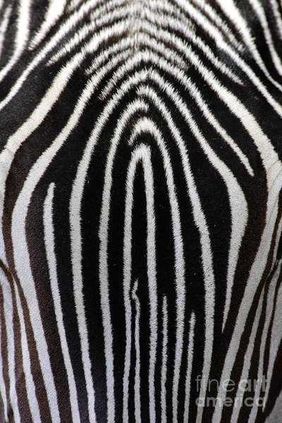 Photograph - Grevys Zebra by Craig K Lorenz