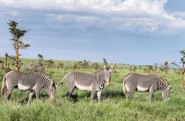 Grazing Photograph - Grevys Zebra Equus Grevyi Grazing, Lewa by Danita Delimont