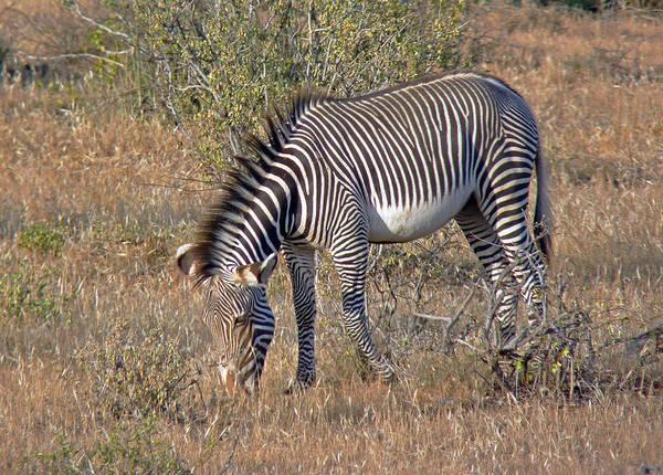 Photograph - Grevys Zebra by Tony Murtagh