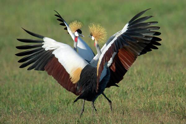 Animal Behavior Photograph - Grey Crowned Crane Balearica Regulorum by Animal Images