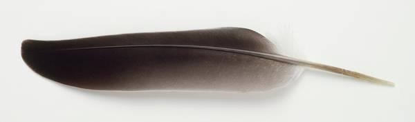 Wall Art - Photograph - Grey Feather by Dorling Kindersley/uig