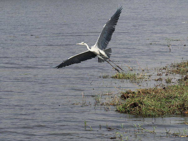 Chobe National Park Wall Art - Photograph - Grey Heron Ardea Cinerea Flying by Panoramic Images