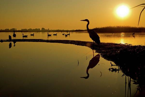 Sun Set Photograph - Grey Heron At Sunset by John Devries/science Photo Library