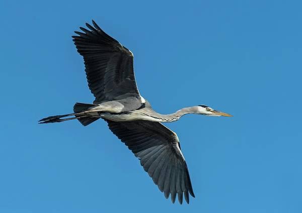 Ardea Photograph - Grey Heron In Flight by Tony Camacho