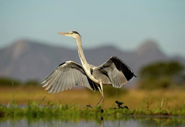 Ardea Photograph - Grey Heron Landing by Tony Camacho