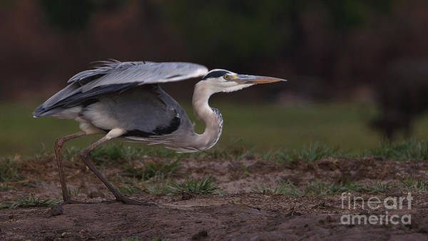 Photograph - Grey Heron by Mareko Marciniak