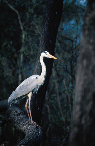 Branch Photograph - Grey Heron Standing On Branch by Dennis Jones