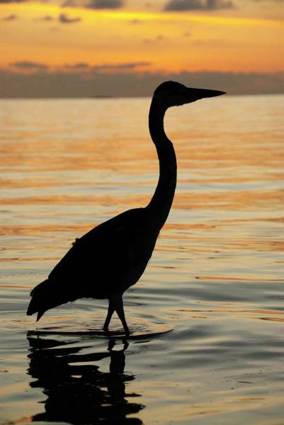 Sun Set Photograph - Grey Heron Wading At Sunset by Scubazoo/science Photo Library