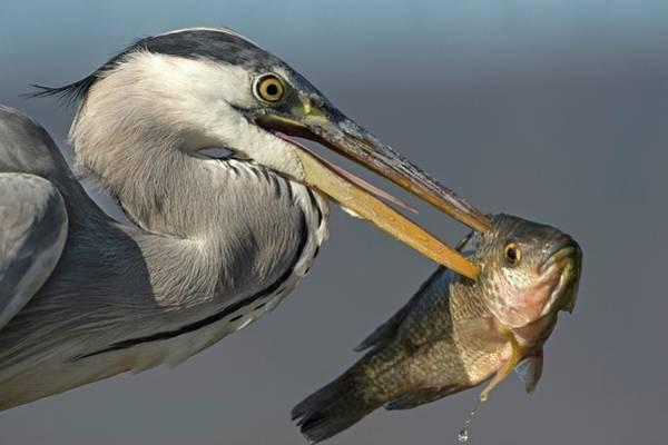 Ardea Photograph - Grey Heron With Fish In Its Bill by Tony Camacho