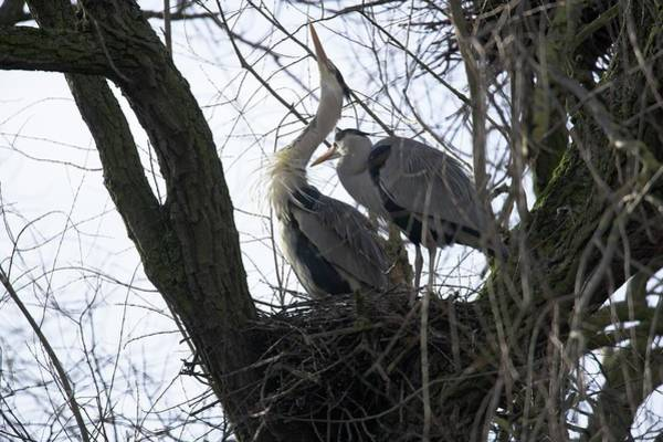 Courtship Photograph - Grey Herons Nesting by Simon Booth/science Photo Library