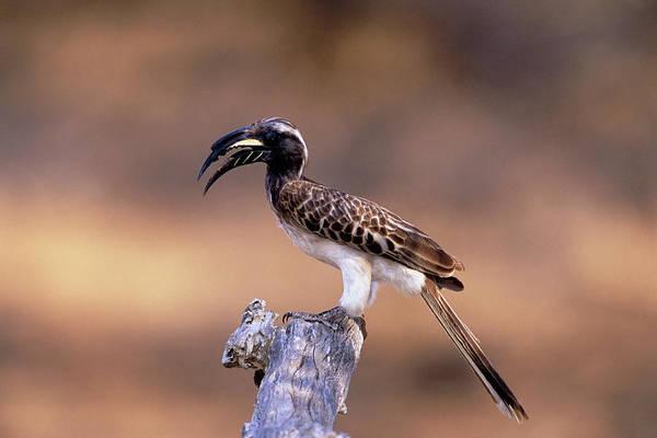 Hornbill Photograph - Grey Hornbill by Tony Camacho/science Photo Library