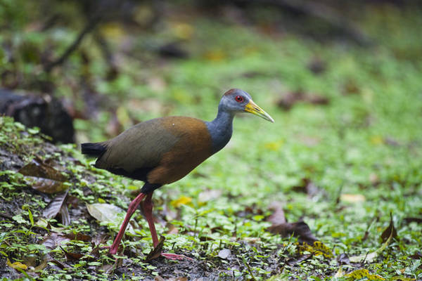 Carrillo Photograph - Grey-necked Wood-rail Costa Rica by Konrad Wothe