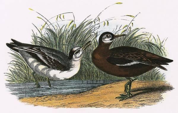 Marsh Bird Painting - Grey Phalarope by English School