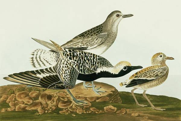 Aquatint Photograph - Grey Plover by Natural History Museum, London/science Photo Library