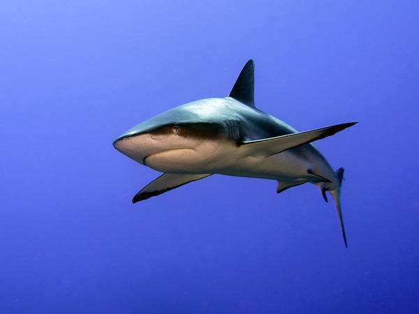 Polynesia Wall Art - Photograph - Grey Reef Shark  (carcharhinus Amblyrhynchos) by Ilan Ben Tov