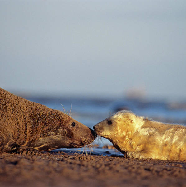Baby Cow Photograph - Grey Seal Pup And Mother by Duncan Shaw/science Photo Library