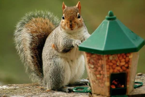Grey Squirrel Photograph - Grey Squirrel Beside Feeder by Ian Gowland/science Photo Library