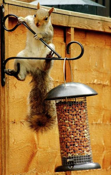 Grey Squirrel Photograph - Grey Squirrel Climbing On A Bird Feeder by Ian Gowland/science Photo Library