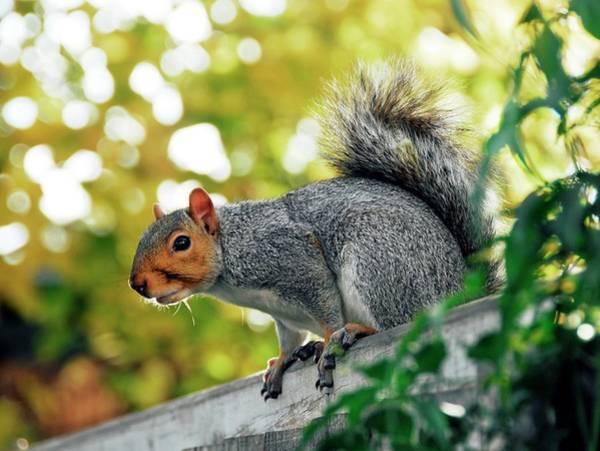 Grey Squirrel Photograph - Grey Squirrel by Cordelia Molloy/science Photo Library