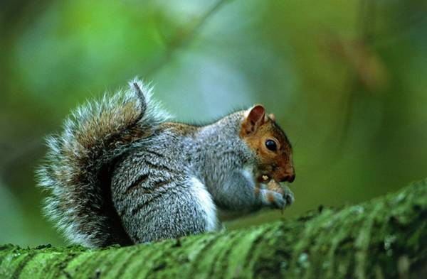Grey Squirrel Photograph - Grey Squirrel Eating by Leslie J Borg/science Photo Library