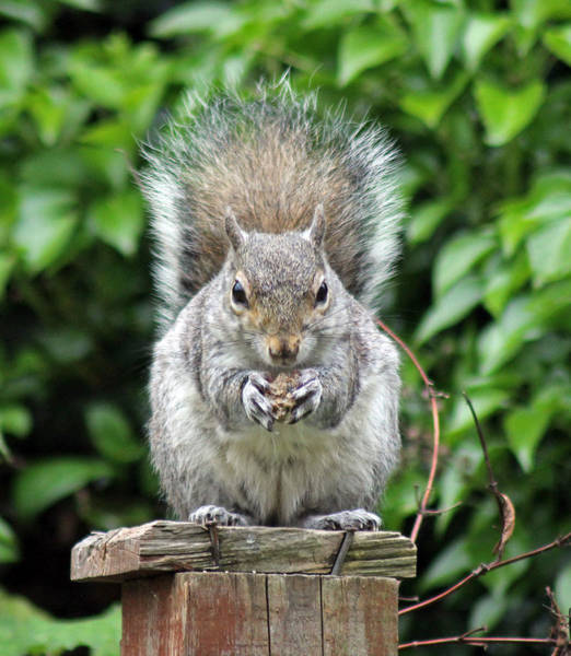 Photograph - Grey Squirrel Eating by Tony Murtagh