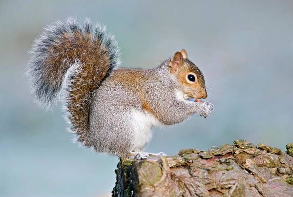 Grey Squirrel Photograph - Grey Squirrel Feeding by John Devries/science Photo Library