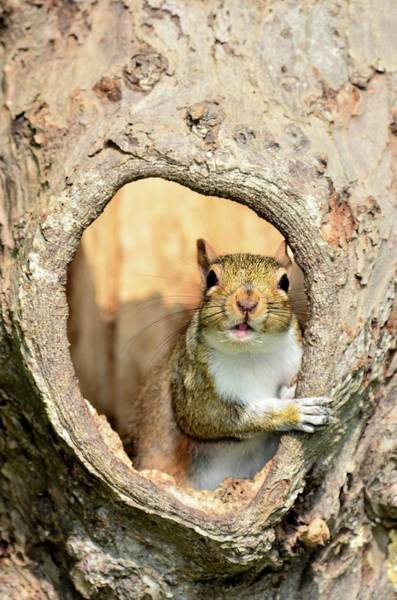 Wall Art - Photograph - Grey Squirrel In A Hollow Tree by Colin Varndell/science Photo Library