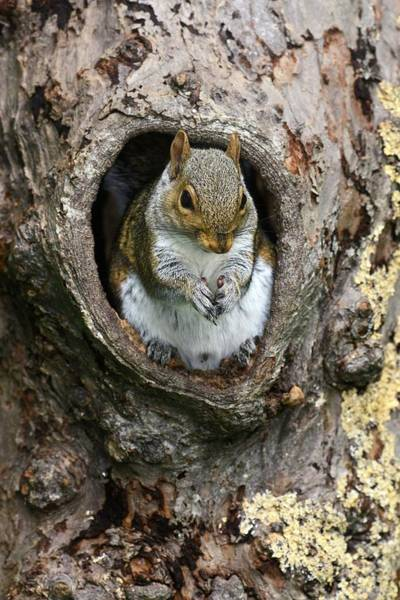 Grey Squirrel Photograph - Grey Squirrel In A Tree by Colin Varndell/science Photo Library