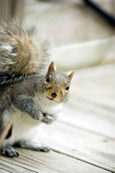 Grey Squirrel Photograph - Grey Squirrel by Maria Mosolova/science Photo Library