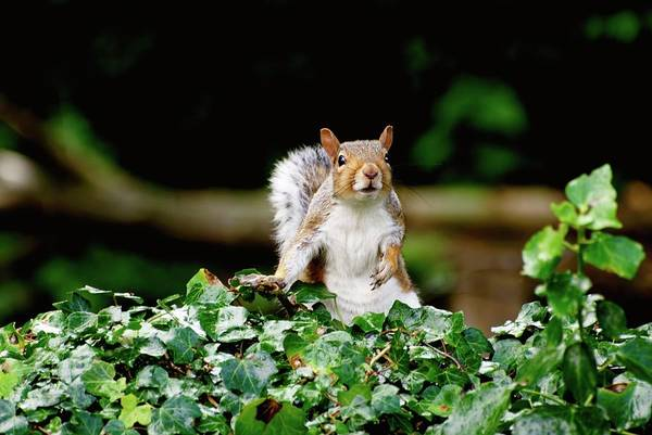 Grey Squirrel Photograph - Grey Squirrel Peeping Over Ivy Fence by Ian Gowland/science Photo Library