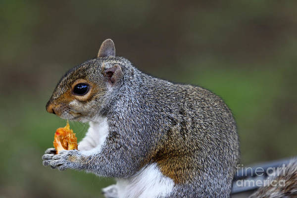 Photograph - Grey Squirrel Tucking In by James Brunker