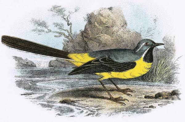 Ornithology Photograph - Grey Wagtail by English School