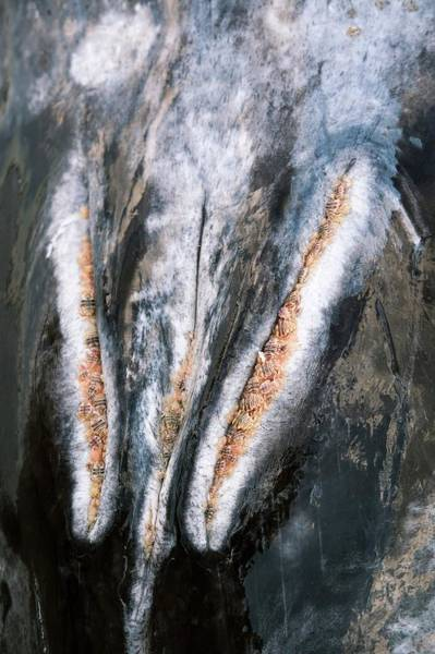 Wall Art - Photograph - Grey Whale And Whale Lice by Christopher Swann/science Photo Library