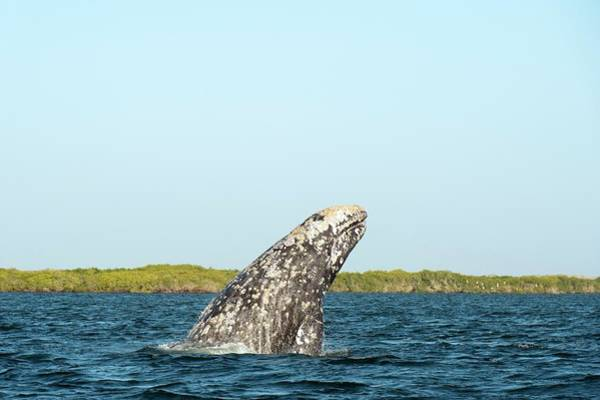 Wall Art - Photograph - Grey Whale Breaching by Christopher Swann/science Photo Library