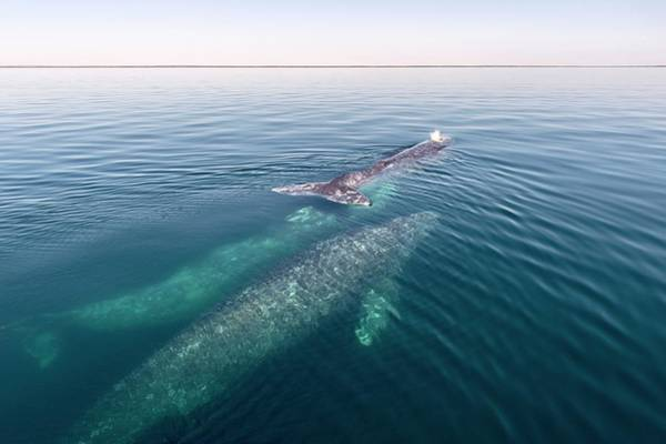 Baja Mexico Photograph - Grey Whales by Christopher Swann