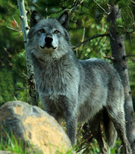 Photograph - North American Wolf  by Aidan Moran
