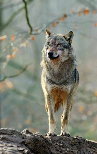 Wall Art - Photograph - Grey Wolf by Bildagentur-online/mcphoto-rolfes/science Photo Library
