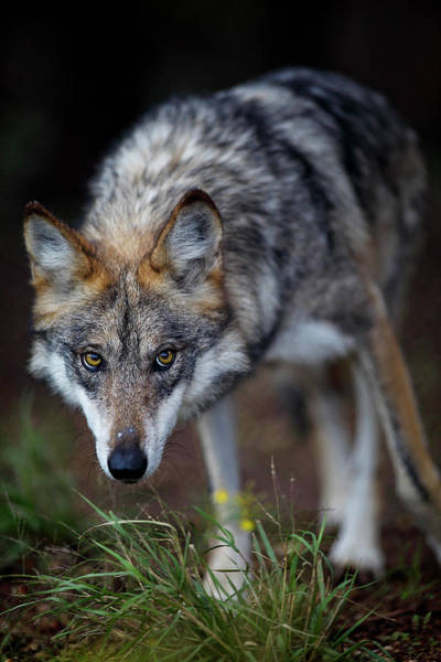 Wall Art - Photograph - Grey Wolf Eyes Down The Camera by Kevin Vandivier