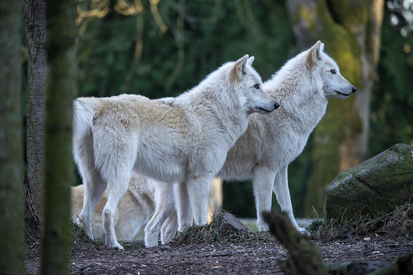Timber Wolves Photograph - Grey Wolf Pack by Mark Newman