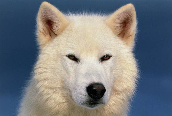White Wolf Photograph - Grey Wolf White-form by William Ervin/science Photo Library